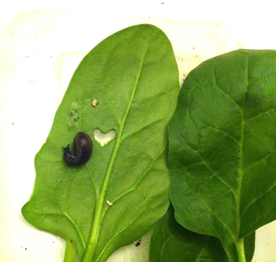 The Lucky Frog Log: Slug Love. Photo by CiCi Blumstein 2013. Heart design by the slugs.